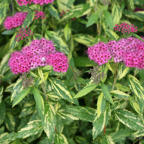 Spiraea DoublePlay¨ Painted Lady¨