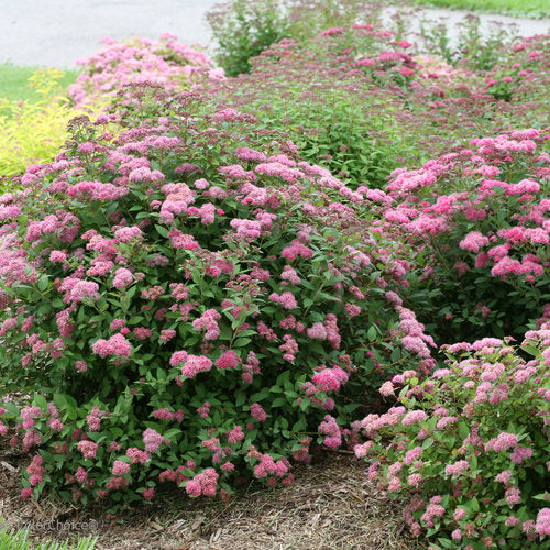 Spiraea Double Play Pink