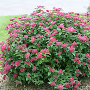 Spiraea Double Play¨ Red