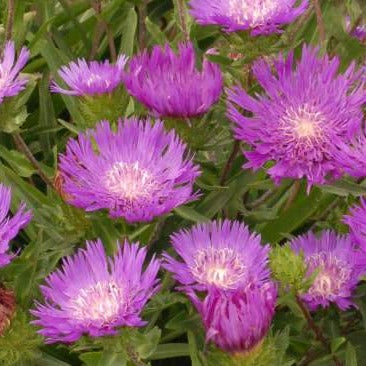 Stokesia Honeysong Purple