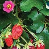 Strawberry Tristan (Everbearing)
