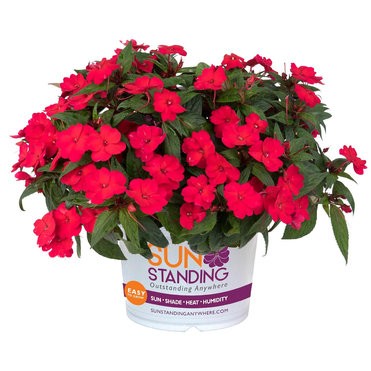 IMPATIENS NEW GUINEA SUNSTANDING Apollo Cherry Red