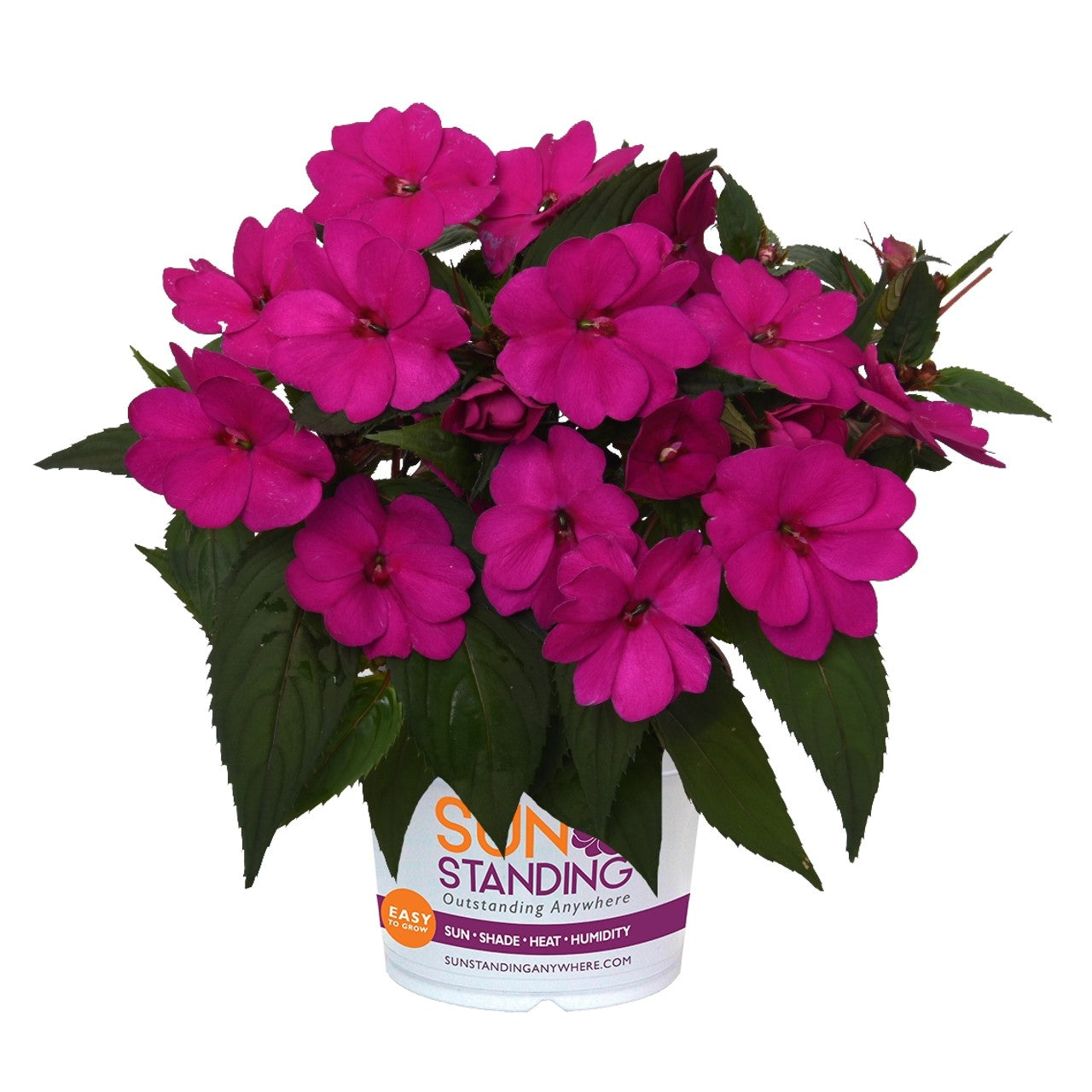 IMPATIENS NEW GUINEA SUNSTANDING Apollo Purple