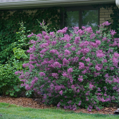 Syringa Bloomerang¨ Dark Purple Lilac