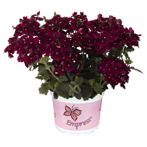 Verbena Empress Flair Burgundy