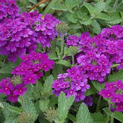 Verbena Endurascape Dark Purple HB
