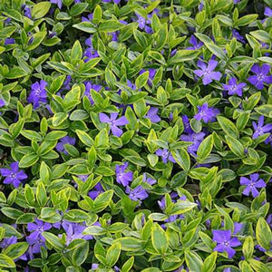 Vinca minor 'Blue and Gold'