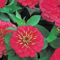 Zinnia Dreamland Rose