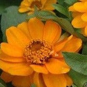 Zinnia Profusion Double Golden