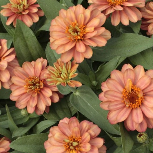 Zinnia Profusion Double Salmon