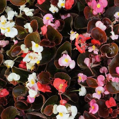 Begonia Bronze Leaf Formula Mix