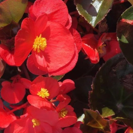 Begonia Bronzeleaf Red HB