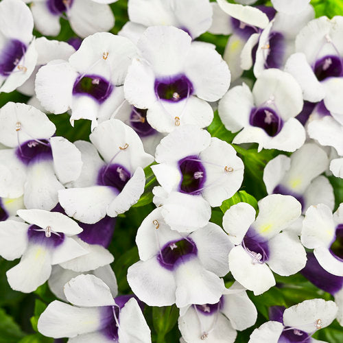 Torenia Catalina Grape-o-licious
