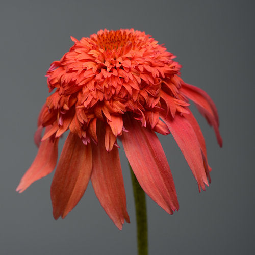 Echinacea Double Scoop Mandarin