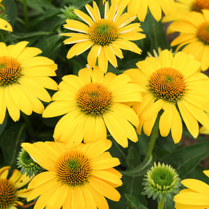 Echinacea Sombrero Salsa Lemon Yellow