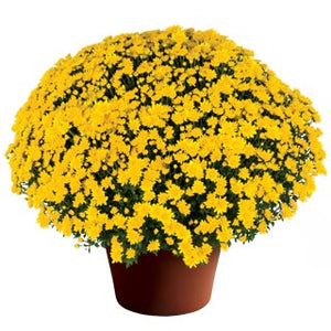 Chrysanthemum 'Makayla Yellow'