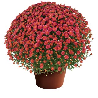 Chrysanthemum 'Jacqueline Rose'
