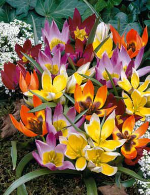Tulip Wildflower Mixture
