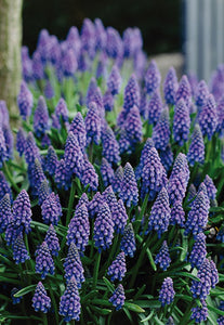 Muscari Grape Hyacinths