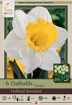 Narcissus Holland Sensation