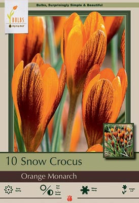 Crocus Orange Monarch