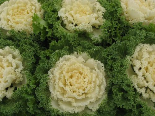Kale (Ornamental) 'Nagoya White'