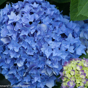 Hydrangea Let's Dance Rhythmic Blue