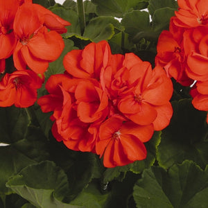 Geranium Patriot Orange