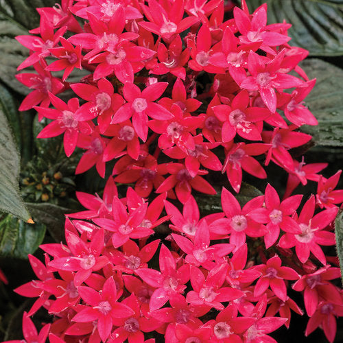 Pentas Sunstar Red