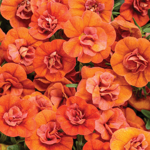 Calibrachoa Superbells Double Orange