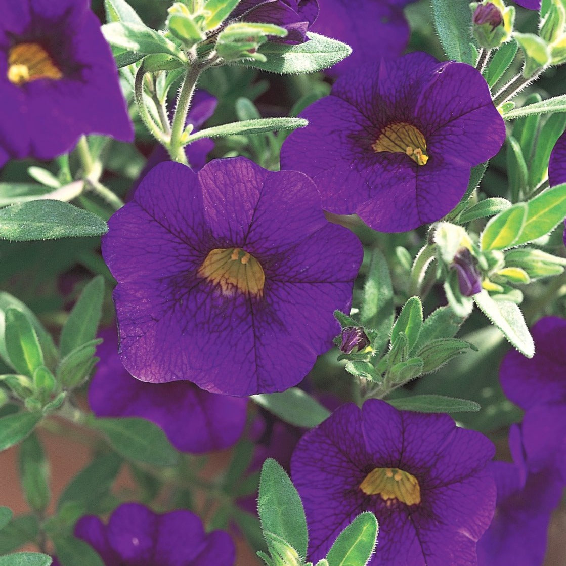 Calibrachoa Superbells Blue