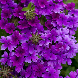 Verbena Superbena Dark Blue