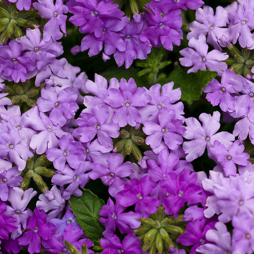 Verbena Superbena Large Lilac Blue
