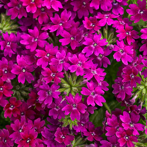 Verbena Superbena Royale Plum Wine