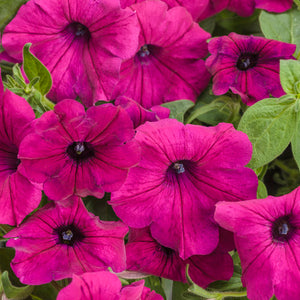 Petunia Supertunia Royal Magenta