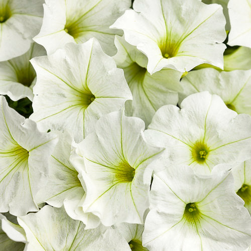 Petunia Supertunia White