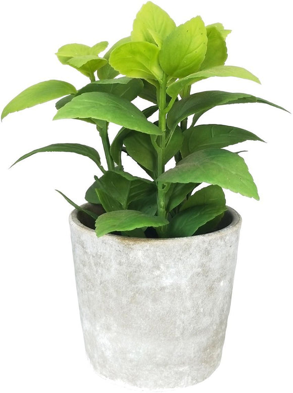 Basil Potted Greenery