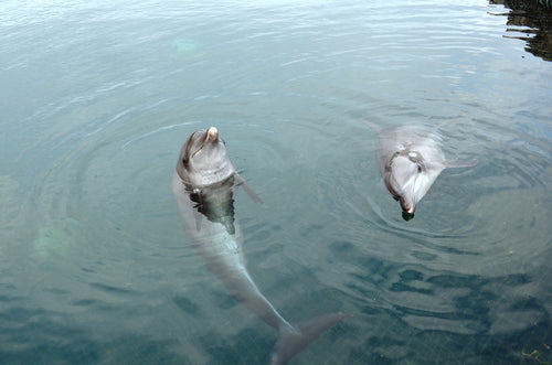 Rescued dolphins at Bali Dolphin Sanctuary
