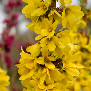 Forsythia 'Show Off'