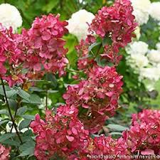 Hydrangea 'Fire Light'