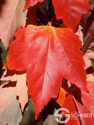 Maple 'Red Sunset'