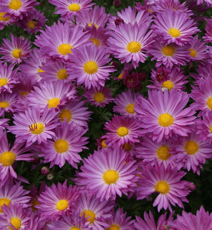 Chrysanthemum 'Mammoth Dark Pink'