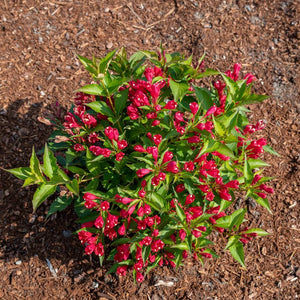 Weigela 'Crimson Kisses'