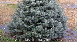 Fir 'Dwarf Rocky Mountain'