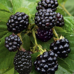Blackberry 'Natchez' - Organic