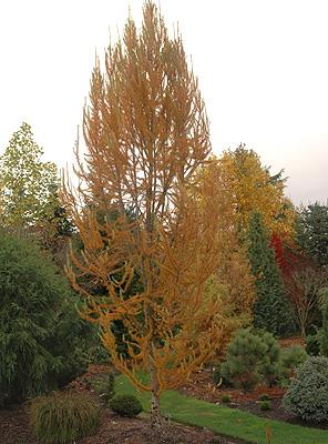 Larch 'Jacobsen's Pyramid'