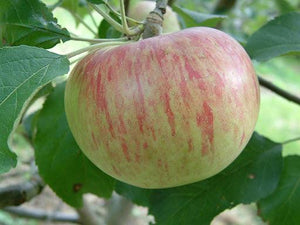 Apple 'Wolf River'
