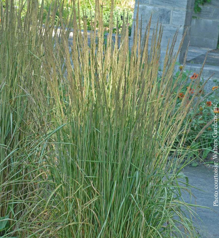 Feather Reed Grass 'Avalanche'