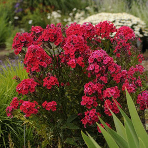 Phlox 'Red Riding Hood'