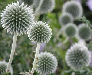 Echinops 'Star Frost'